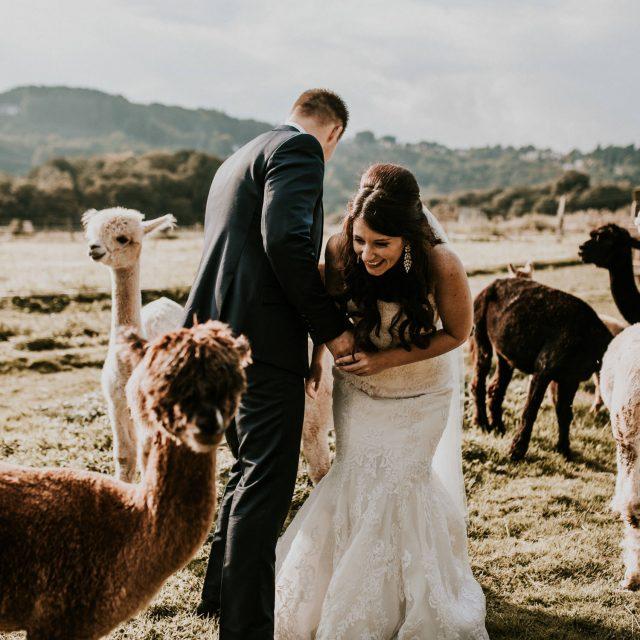 Hochzeitsfotografie Alpakas